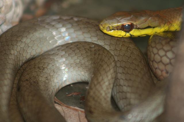 mastygodrias-melanolomus-serpiente-corredora-cafe